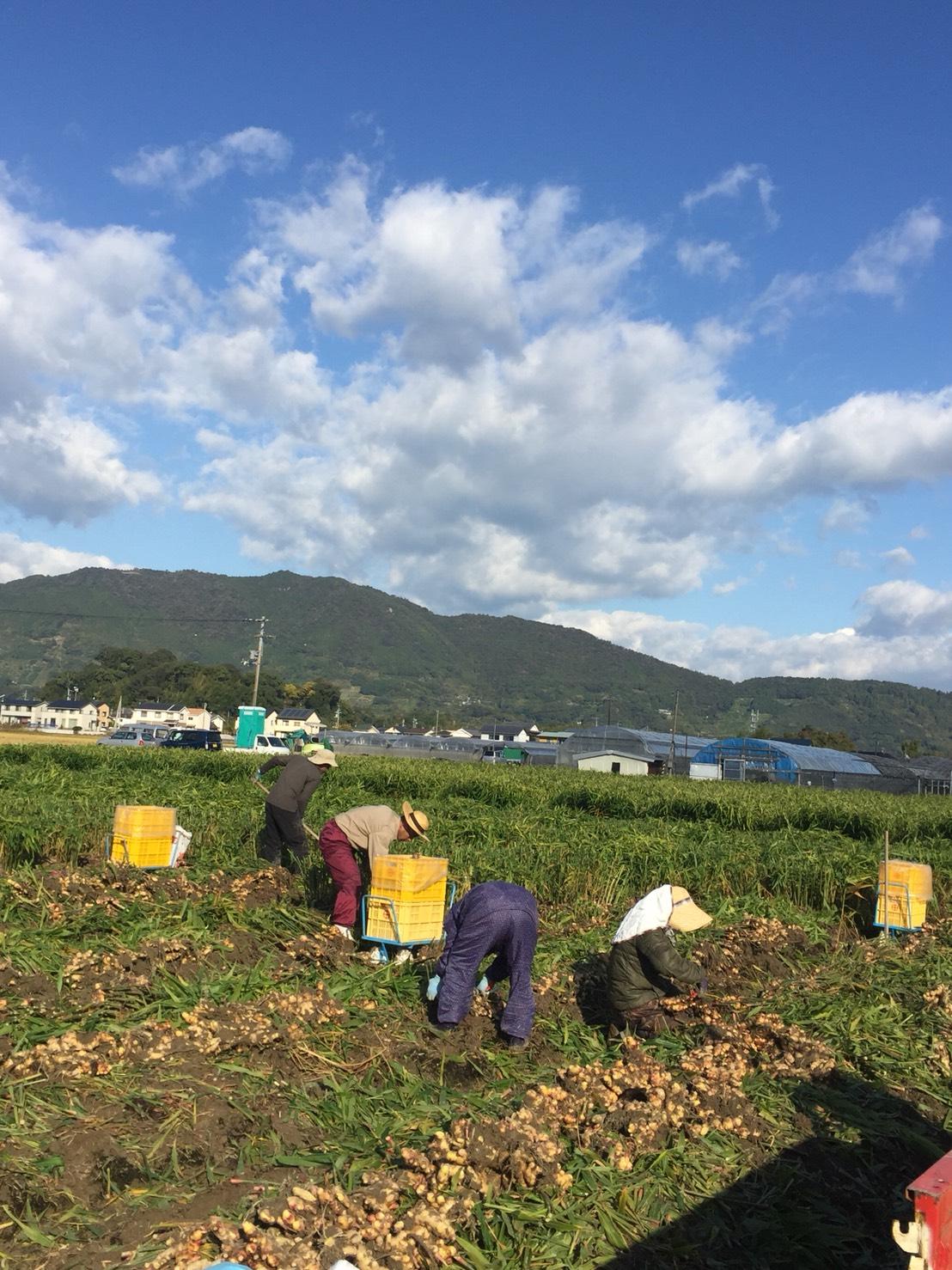 生姜の収穫風景