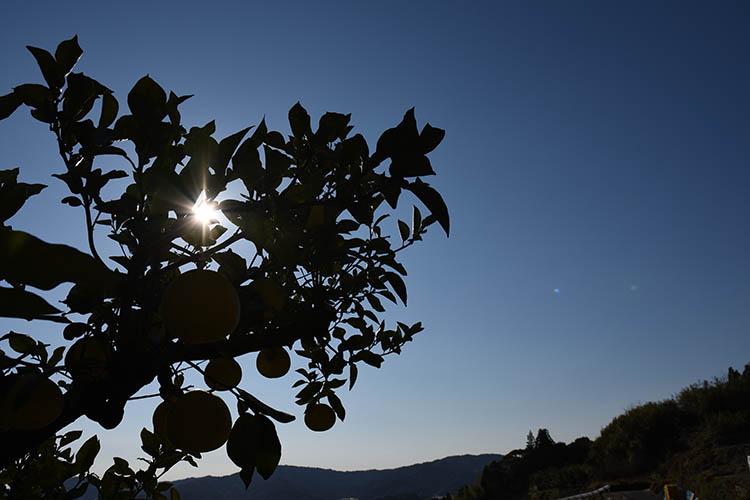 文旦収穫風景写真07