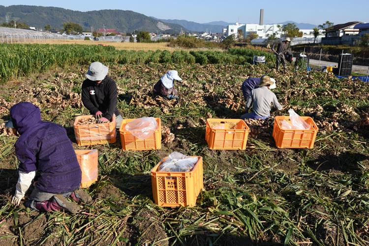 生姜収穫風景写真01
