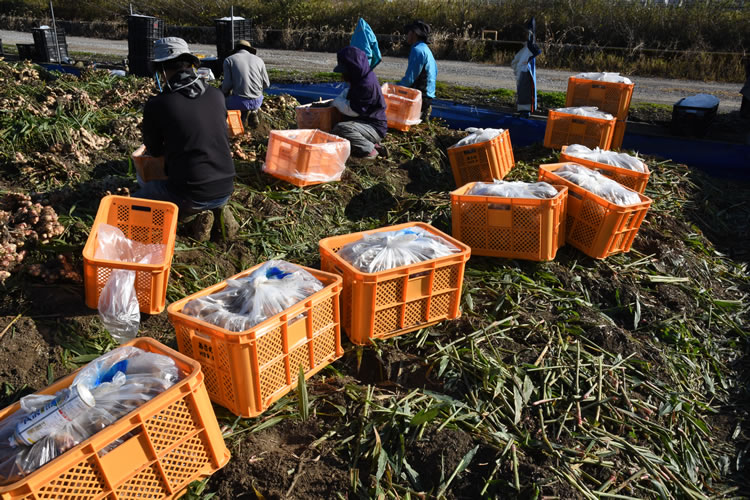 生姜収穫風景写真03