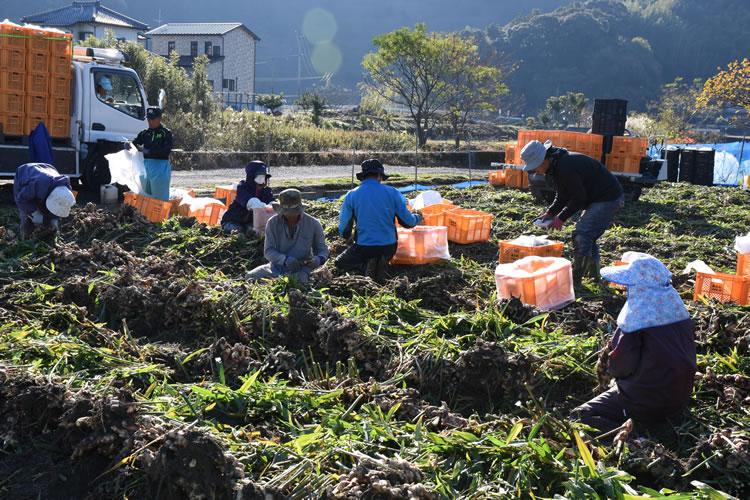 生姜収穫風景写真05